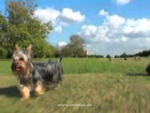 royal canin breed yorkshire terrier hundefutter youtube. Black Bedroom Furniture Sets. Home Design Ideas