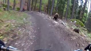 Biciclist Urmărit De Urs Prin Pădure 2017