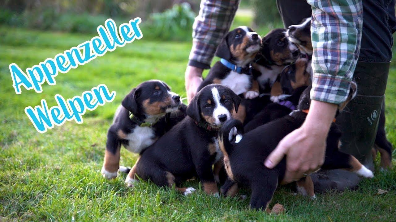 Appenzeller Sennenhund Welpen Youtube