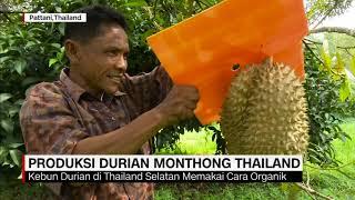 Produksi Durian Monthong Thailand