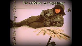 За судаком на собаке Рыбалка на водохранилище зимой