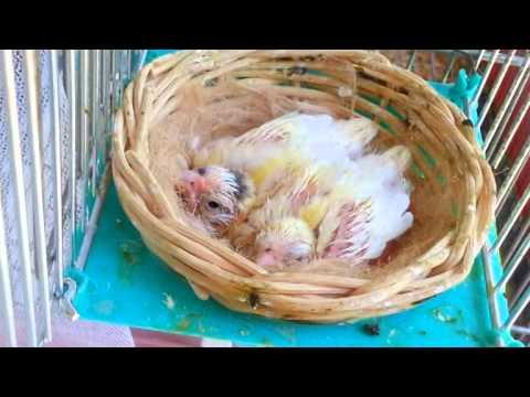 canarini dalla nascita