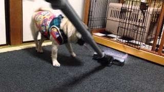 パグ犬☆パンチの徒然日記 http://punchpug.blog.fc2.com/