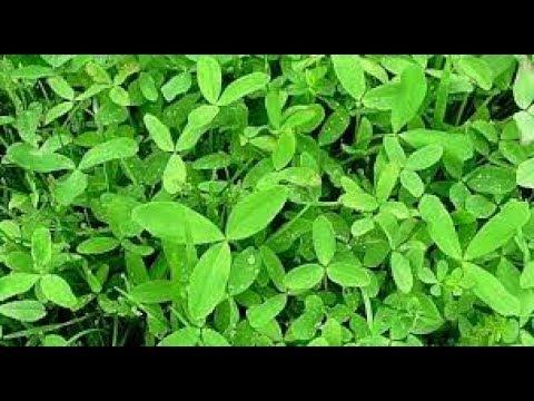 बरसीम  की आधुनिक खेती