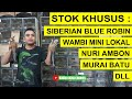 Update Harga Siberian Blue Robin Wambi Mini Lokal Nuri Ambon Dll Di Kios Aris Pb Pramuka  Mp3 - Mp4 Download