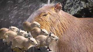 Song A Day #774: Deep Thoughts With A Capybara