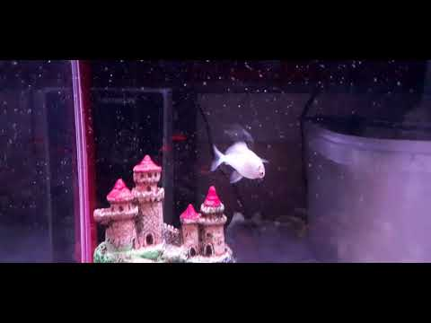 😭🙏Swimming Upside Down🐠 #Blue Platinum Angel Fish -don't Understand What To Do