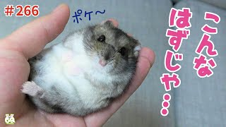 A hamster who has forgotten his wild instinct.[Funny Hamster]