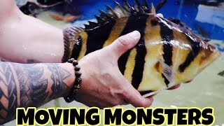 moving-monster-temensis-peacock-bass-to-the-mega-tank-part-1
