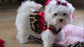 Teacup Maltese Adorable Loving Lori! Dallas Texas Maltese For Sale