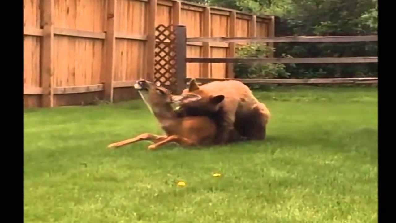 Un ours attrape et tue un cerf dans un jardin youtube for Dans in jardin
