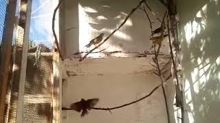 птицы в вольере #1 // овсянки-обыкновенная.камышовая.черноголовая.садовая