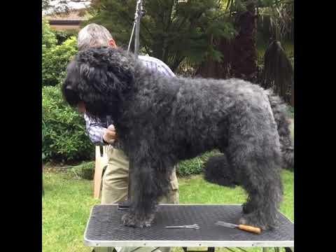 Elwood FLANDERS CATTLE DOG grooming