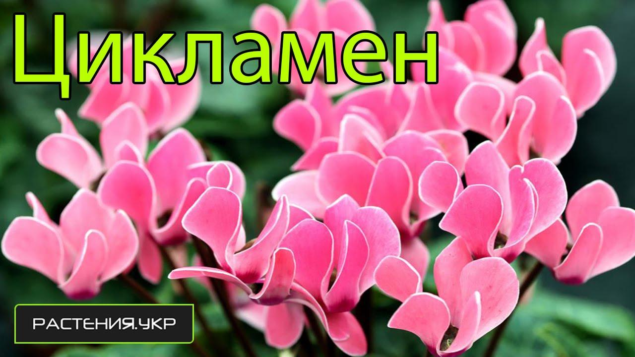 Фото цветка цикламен уход 85