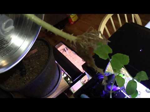 Tiger Barbs, Fish Fertilizer Comparison / Pothos In Fish Tank For Filtration
