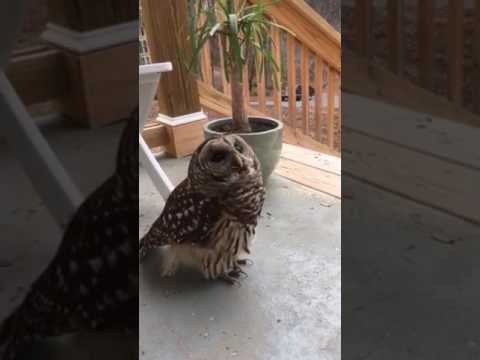 The Affection Of A Barred Owl