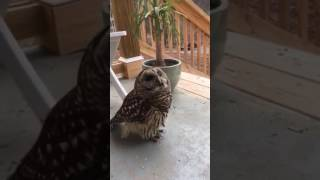 The Affection Of A Barred Owl thumbnail