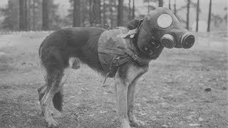 5 Animals Used in War