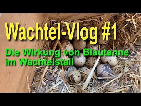 Das bewirkt Blautanne im Wachtelstall - Wachtel-VLOG #1