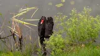 Скачать Черный лебедь на пруду