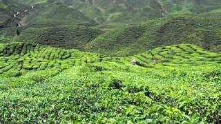 Tea Plantation @ Cameron Highlands, Malaysia