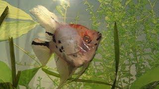Скалярии для начинающих Немного о содержании в домашнем аквариуме