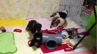 生後29日になった2013年2月27日生のラフコリーの子犬たちです...