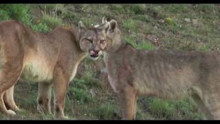 Training Day Young Pumas Learn to Hunt