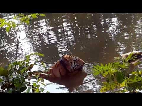 Jai Asia's Biggest Tiger Umred .mp4