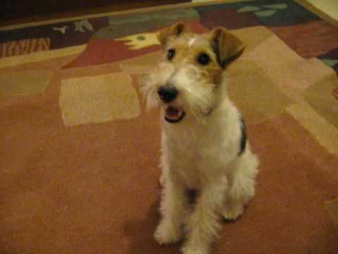 Milou Wire Fox Terrier Playing On The Carpet Youtube