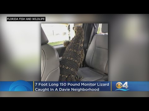 Ken Payne - Monitor Lizard Terrorizes Davie Neighborhood