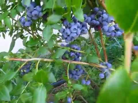 голубика - сорта которые вам захочется посадить