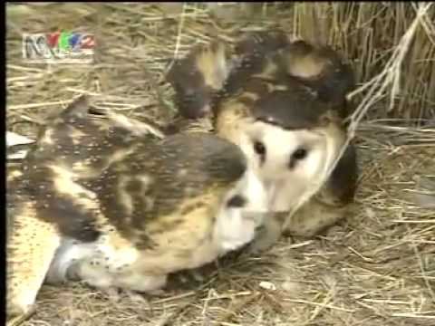tập tính sinh sản ở động vật.FLV