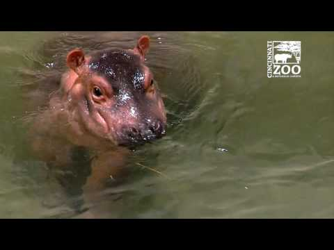 Premature Baby Hippo Fiona Moves to Adult Hippo Pool - Cincinnati Zoo