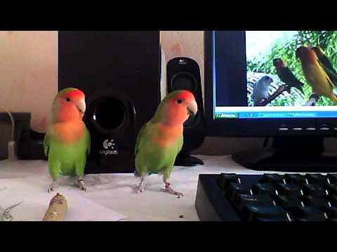 Lovebird inséparable oiseau