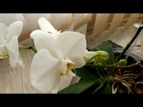 Белая орхидея. Год  спустя.