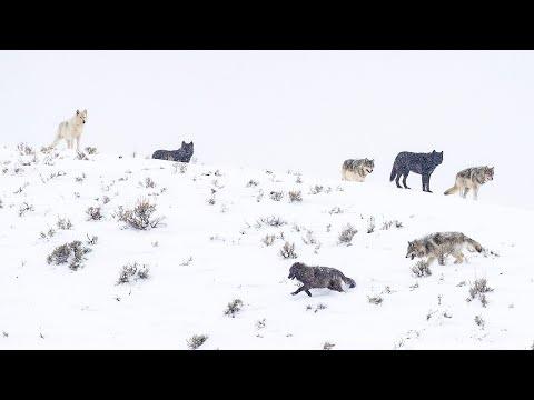 Yellowstone's Winter Wolves (Wapiti Lake Pack, 2020)