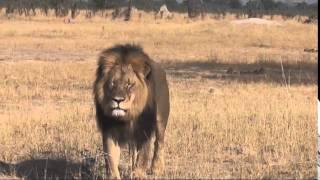 Cecil, beloved Zimbabwean Lion, Killed