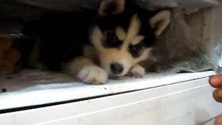 #Прикол!!! Щенок Хаски не хочет покидать морозильник!!! Жаркий день.Смешное видео#