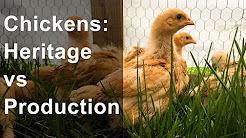 Chicken Breeds: Heritage vs Production