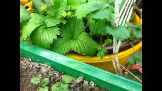 Клубника дома на гидропонике(Это видео я выложил с целью показать свою первую попытку выращивания клубники дома на гидропонике. В начале..., 2015-05-19T07:38:03.000Z)