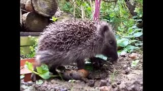 Wild and Free - Wild Baby Hedgehog Fails To Eat a Slug