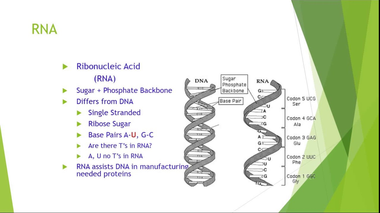 the role and structure of dna