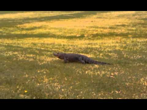 Alligator Found near Jackson, MI