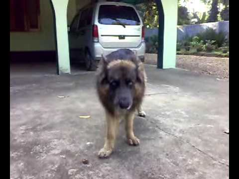 ബ ണ Bonny The German Shepherd Genius Youtube