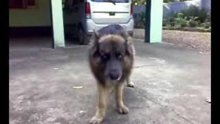 ബോണി | Bonny - The German Shepherd Genius