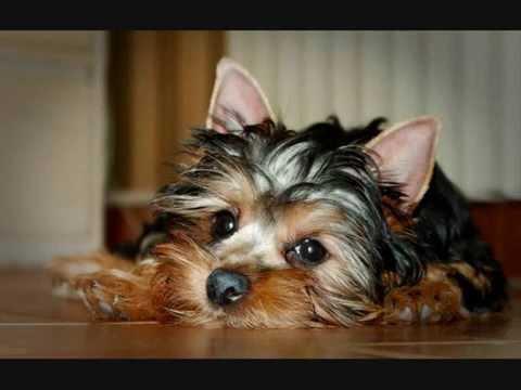 Все породы собак.Австралийский шелковистый терьер .
