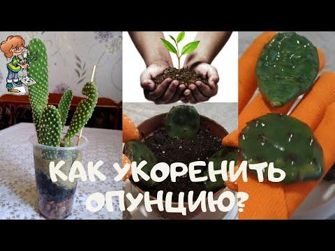 Как укоренить неприхотливый быстрорастущий кактус опунцию (Opuntia)? Размножение черенками