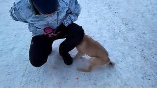 Дрессировка собак-западно-сибирская лайка по кличке Ева...Иван дрессировщик