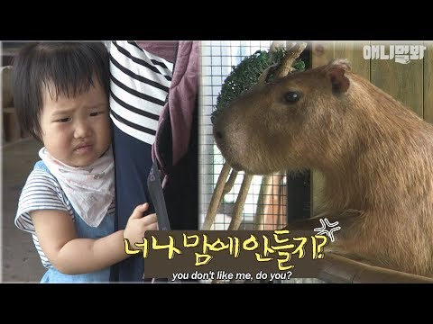 The capybara couple escape at every opportunity